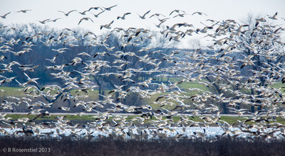 Snow Geese Hagerman National Wildlife Refuge, Texas, 2013