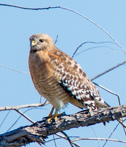 Red-shouldered Hawk Hagerman National Wildlife Refuge, Texas, 2013