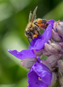 Bee and Verbena Lady Bird Johnson Wildflower Center, Austin, TX, 2013