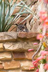 Great Horned Owl Lady Bird Johnson Wildflower Center, Austin, TX, 2013
