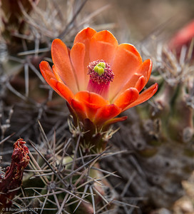 Cactus Blossom Lady Bird Johnson Wildflower Center, Austin, TX, 2013
