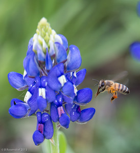 Bee and Bluebonnet Lady Bird Johnson Wildflower Center, Austin, TX, 2013