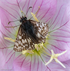 Moth with Primrose Lady Bird Johnson Wildflower Center, Austin, TX, 2013
