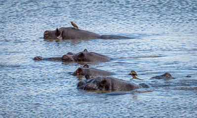 Hippo and Red-billed Oxpecker