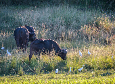 Cape Buffalo and Cattle Egret