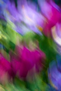 Tulip Flow