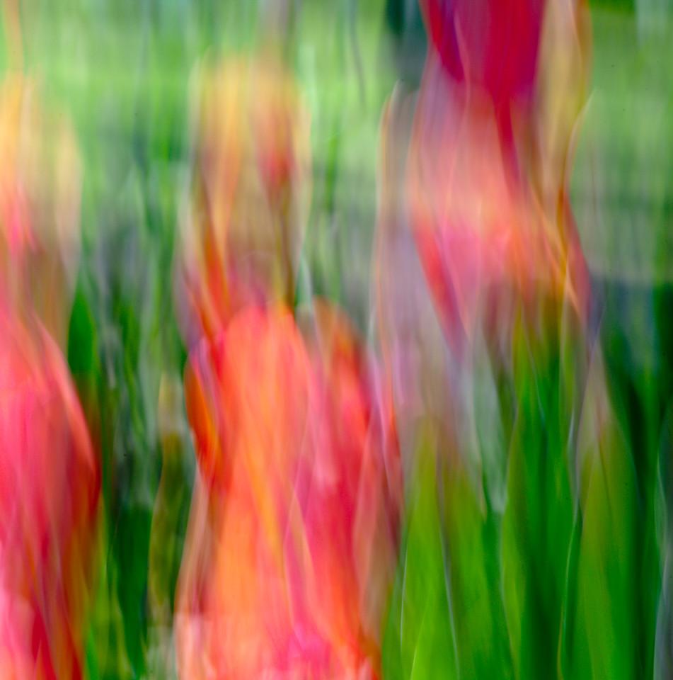 Flickering Tulips, Grapevine Botanical Garden, TX, 2010