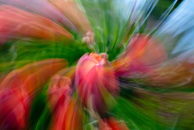 Tulip Cyclone, Grapevine Botanical Garden, TX, 2010