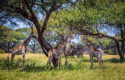 Four Giraffe