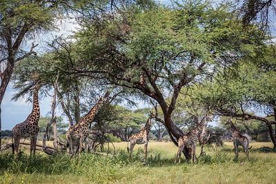 Five Girafffe