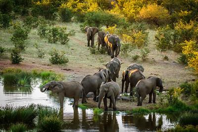 Elephants arriving for evening drink