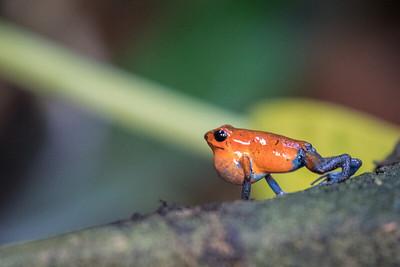 Strawberry Poison-dart Frog aka Blue Jeans Frog