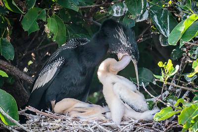 Anhinga Feeding Young