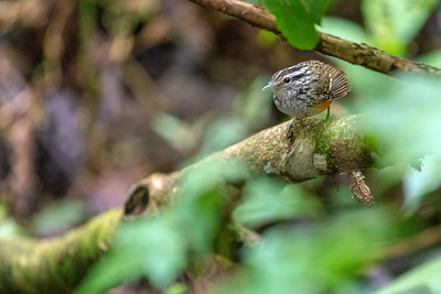 Warbling Antbird