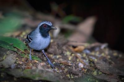 Black-faced Antbird