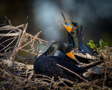 Double-crested Cormorant Breeding Plumage