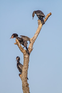 Double-crested & Neotropic Cormorant