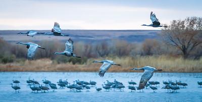 Cranes Taking Off V