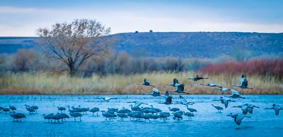 Cranes Taking Off III