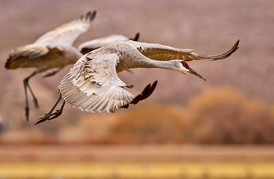 Cranes - Sandhill