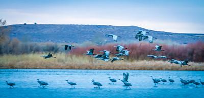 Cranes Taking Off IV