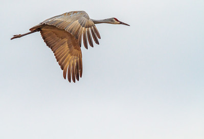 Sandhill Crane in Flight