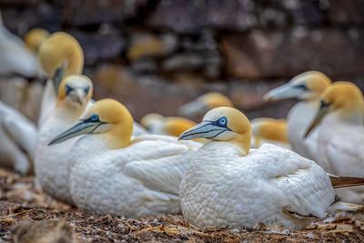 Cluster of Gannets