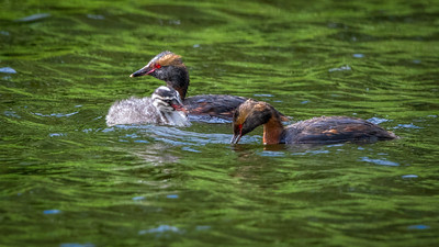 Horned Grebe Parents and Chick