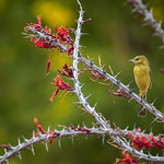 Hooded Oriole with Ocotillo