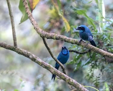 Tuquoise Jay