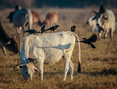 Crow Hooded Crows with Cattle