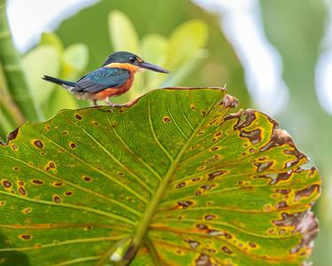 American Pygmy Kingfisher (f)