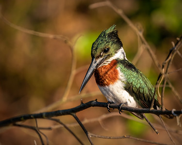 Amazon Kingfisher (m)