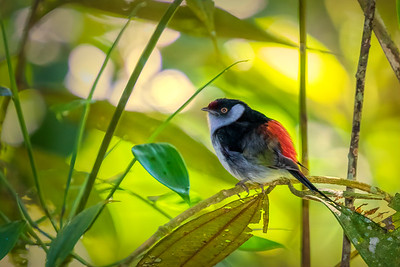 Pin-tailed Manakin (m)