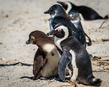 Cape Penguin