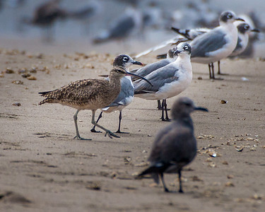 Whimbrel, Franklin's Gull, Gray Gull
