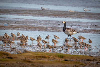 Barnacle Goose with Common Redshank