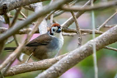 White-Faced Ground-Sparrow