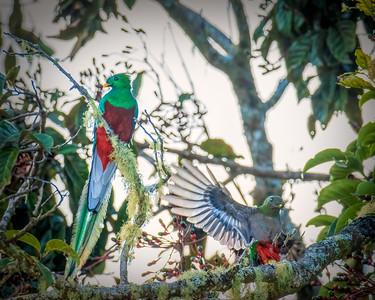 Resplendent Quetzal (m/f)