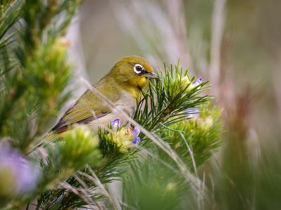 Cape White-eye