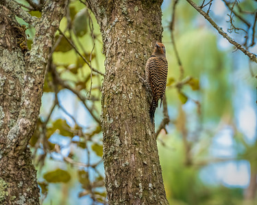 Guatemalan Flicker