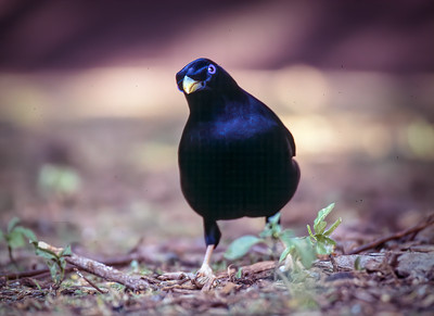 Satin Bowerbird (m)