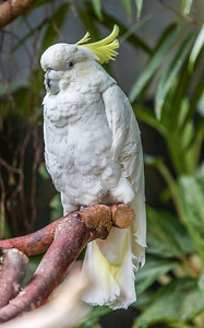 Sulpur-crested Cockatoo