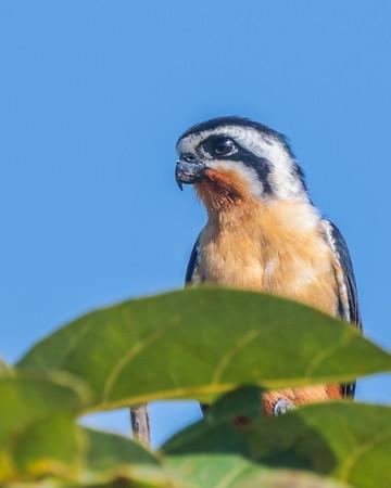Kestrels, Falcons, Caracaras