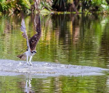 Osprey, Gatorland, FL, 2010