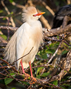 Cattle Egret, Wakodahatchee, Boynton Beach, FL, 2016