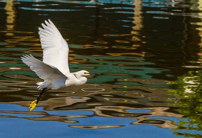 Snowy Egret, Gatorland, FL, 2010