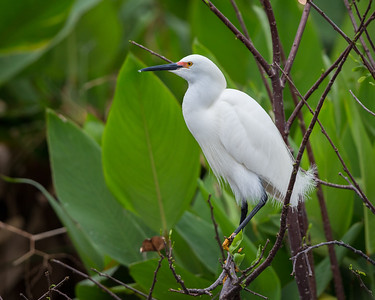 Snowy Egret, Wakodahatchee, Boynton Beach, FL, 2016