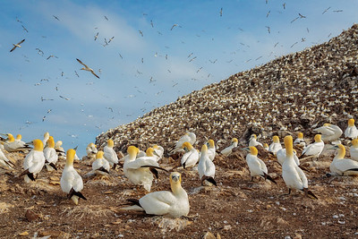 Gannets High and Low