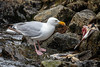 Glaucous-winged Gull